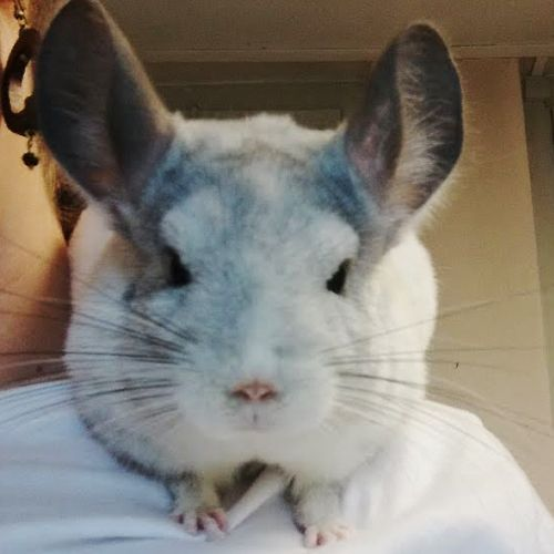 Phil - Chinchillas